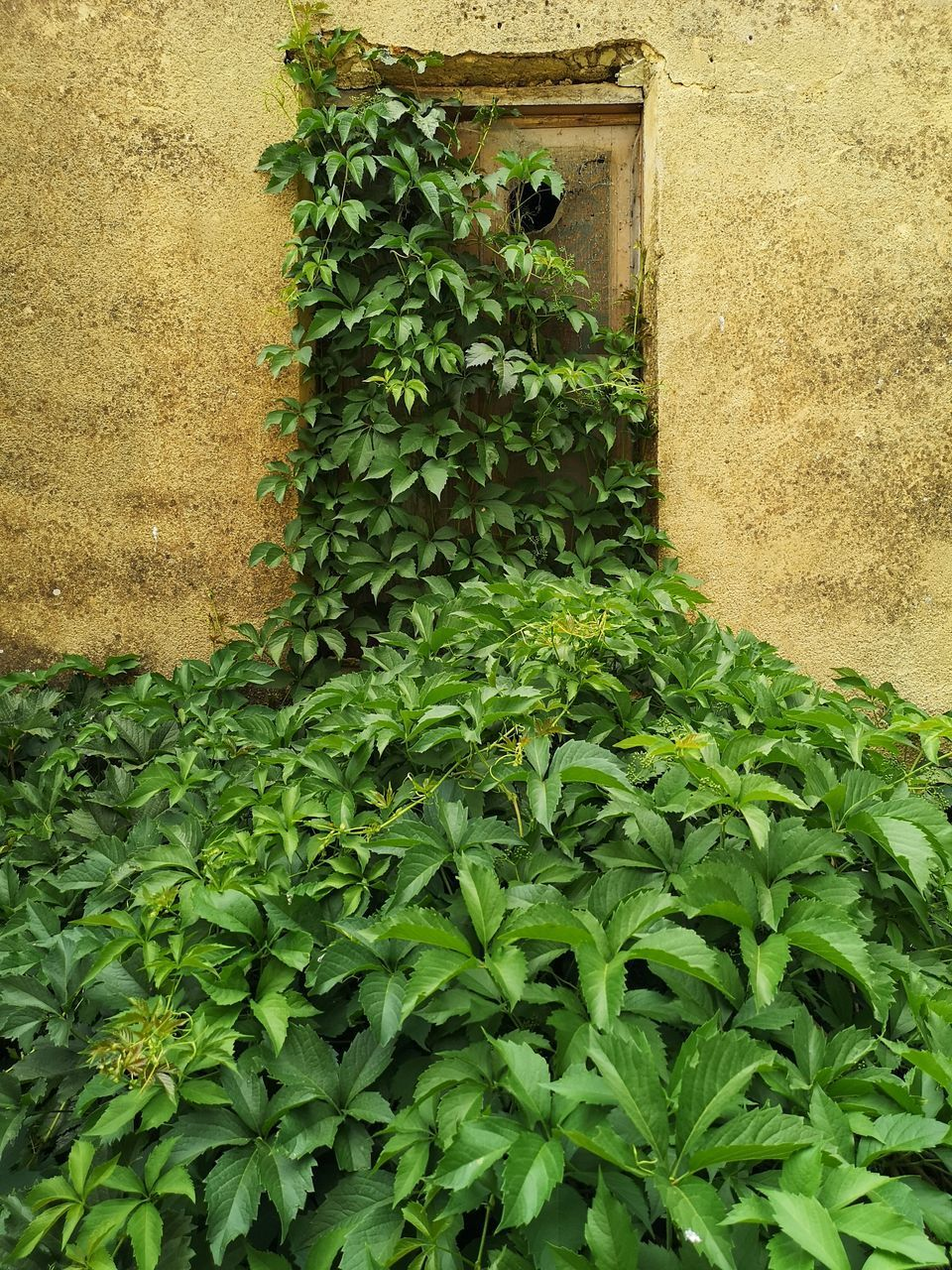 LOW ANGLE VIEW OF IVY ON WALL