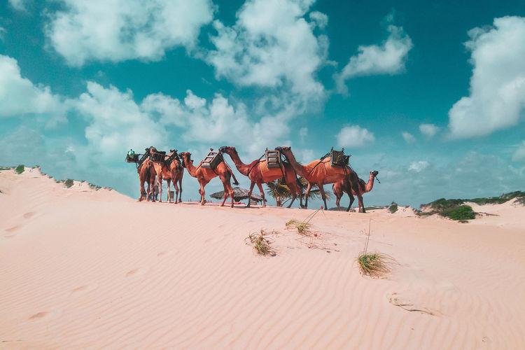 Camels on sand dune at desert