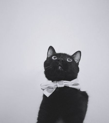 Portrait of cat looking away against white background