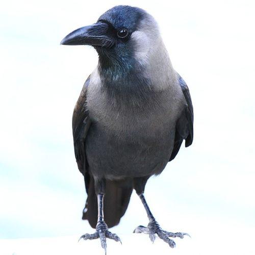 The return of Mrs Crow. Poser! RunwayBird FasionistaCrow Birdphotography Canon7d  MyDubai DubaiBirds