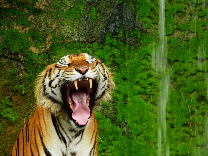 Hair Zoo Animal Animal Themes Animal Wildlife Big Cat Brown Fur Gape Jungle Mammal Moss One Animal Open Mouth Outdoors Scene Stone Wall Striped Tiger Tiger Face Waterfall Wildlife Yawn Zoo Animals