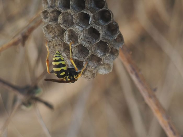 Wasp nest Insects  Wasp Nest Wasp Wild EyeEm Selects Honeycomb Insect Close-up Animal Themes Hexagon Geometric Shape