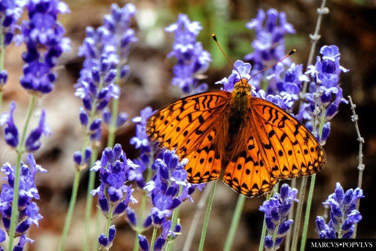 Título: Volatem machina. Autor: Marcus Populus. Lugar: Rascafría (Madrid) Cámara: Panasonic DMC TZ60 f/6.4, ISO 800, 1/125s, 129mm Animal Themes Butterfly Butterfly - Insect Flower Insect Nature