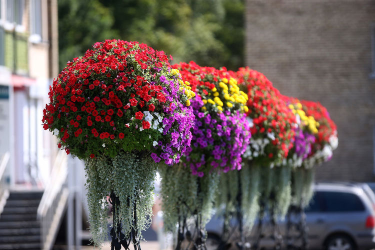 Kedainiai Old Town Lithuania Beauty In Nature Bunch Of Flowers Flower Flower Head Flower Pot Focus On Foreground Fragility Growth Kėdainiai Lithuania Travel Nature No People Outdoors Plant Purple Selective Focus Softness Street Vulnerability