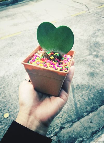 Cropped hand holding heart shape potted cactus plant with colorful candies