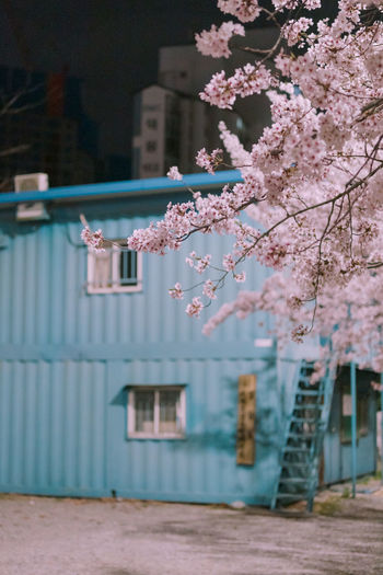 Pink cherry blossom by tree outside building