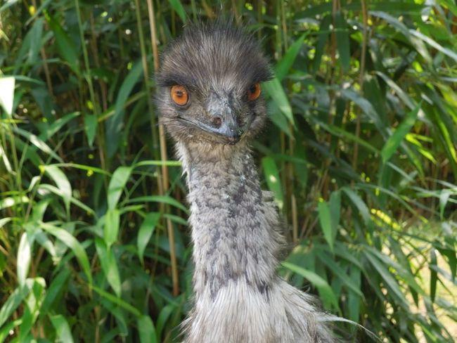 Emu Animal Themes Looking At Camera Outdoors No People Animal Eye Bird Nature One Animal Amimal Theme Close-up Natural Colours EyeEmFree