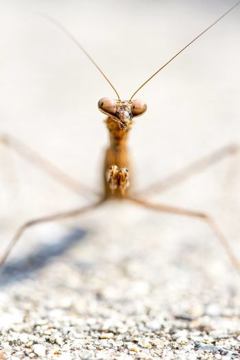 Close-Up Of Prying Mantis On Sand