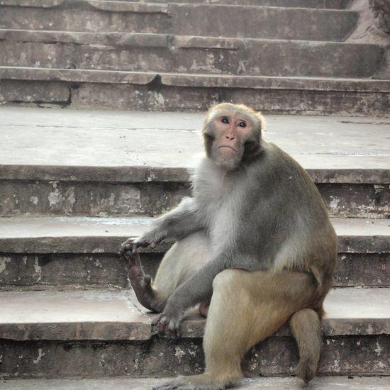 Animal Themes Animals In The Wild India Monkey Monkeytemple Nature Nature Photography Rajasthan Wild Wildlife Wildlife & Nature Wildlife Photography
