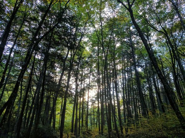 Tree Forest Growth Nature Low Angle View Green Color Bamboo Grove Bamboo - Plant Beauty In Nature Lush Foliage Tranquility Outdoors WoodLand No People Tree Trunk Tranquil Scene Tree Area Scenics Branch Delaware Water Gap