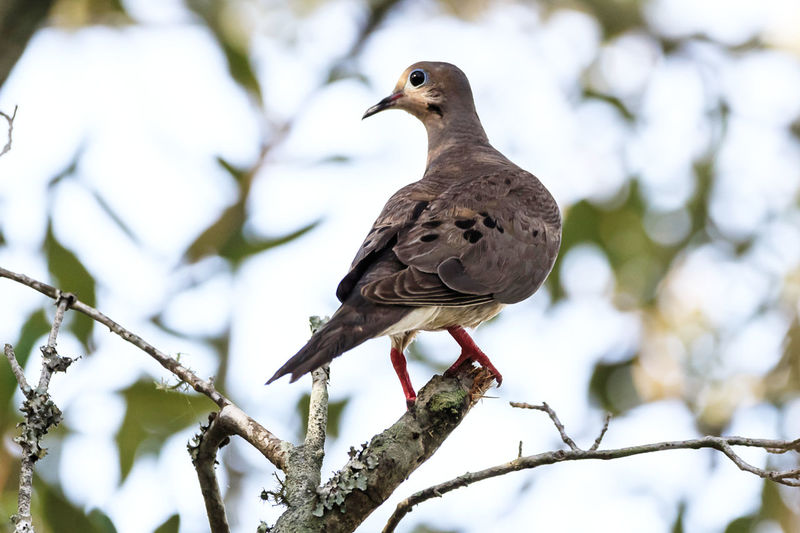 Mourning Dove Animal Animal Themes Animal Wildlife Animals In The Wild Beauty In Nature Bird Branch Day Dove - Bird Focus On Foreground Low Angle View Mourning Dove Nature No People One Animal Outdoors Perching Plant Tree Vertebrate