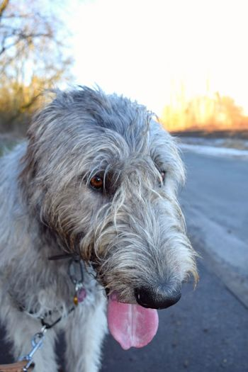 Dog Animal Themes Focus On Foreground Outdoors Sunlight January 2017 Dogwalk Bokeh Winter 2017 Dogs Of Winter Dog Of The Day Dogs Of EyeEm Dogslife Portrait Cearnaigh Irish Wolfhound Close-up Domestic Animals