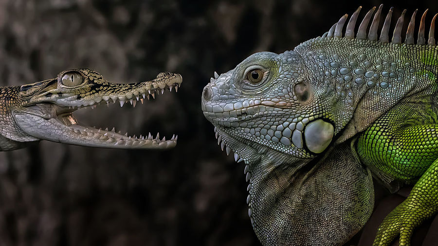 Close-up of iguana and crocodile