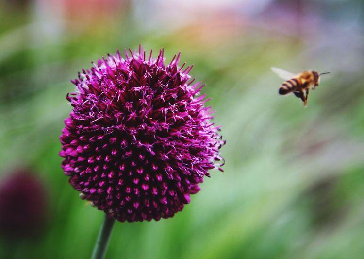 Honey bee flying away from allium flower