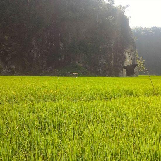 Persawahan dan tebing Documentary Dailylife Yuliseperi Padang Westsumatera Westsumatra 1000kata Pewartafotoindonesia Pfikepri Pfipadang Hipaae