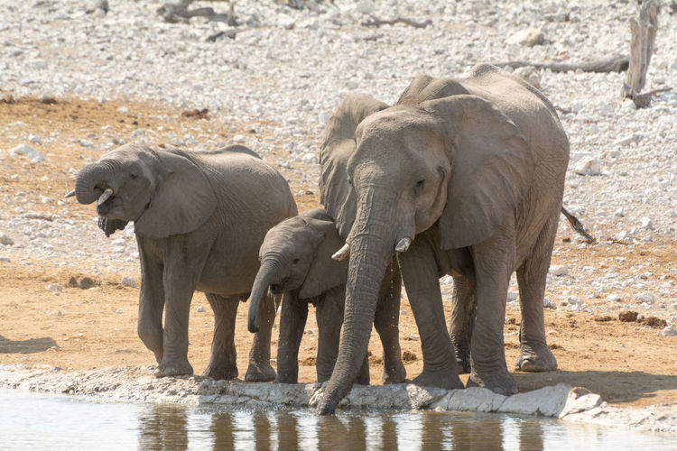 View of elephants drinking