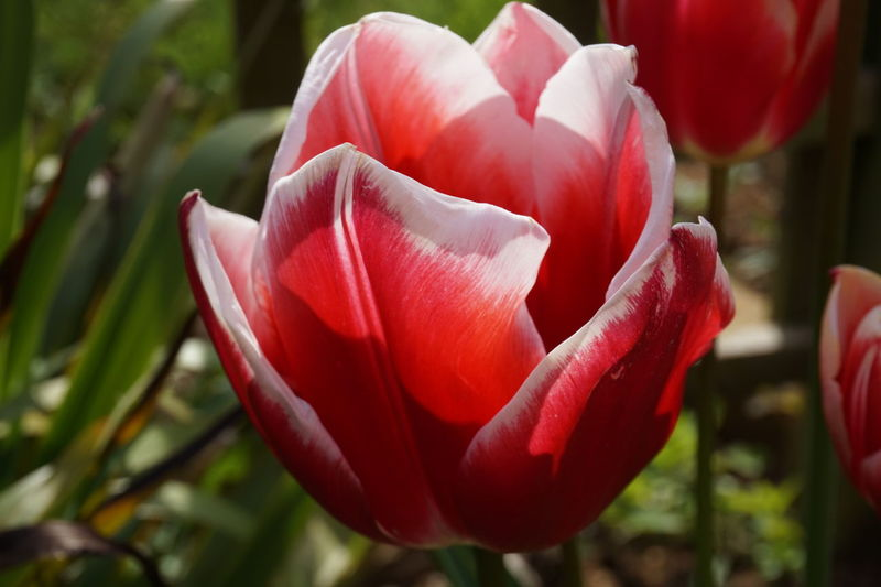 Red And White Petals Red And White Tulip Clear And Crisp Red White Colour Of Life