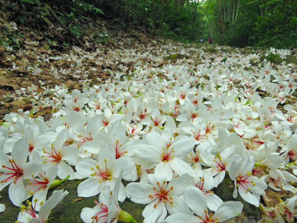 Quiet forest, floating under the white tung flowers, covered with country roads. Country Road Falling Natural Beauty In Nature Blooming Close-up Day Falling Flowers Field Flower Flower Head Forest Fragility Fresh Freshness Growth Nature No People Outdoors Peaceful Petal Plant Plant Flowers Tung Blossom White Flowers
