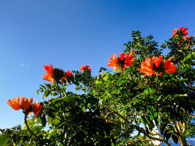 Flame of the forest - tree with red flowers campanulata Spathodea blue sky Bignoniaceae Africa Background Beautiful Blossom Botanical Botany Campanula Decoration Flame Flora Flower Head Flowers Forest Garden Growing Growth Hydel Kerala Leaves Orange Park Red Sky Spathodea