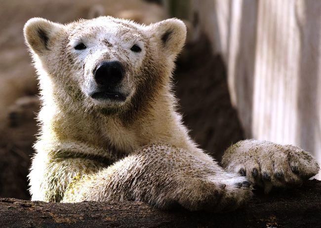 A polar bear Animal Themes Mammal Looking At Camera Portrait One Animal Polar Bear Zoo Nature Close-up