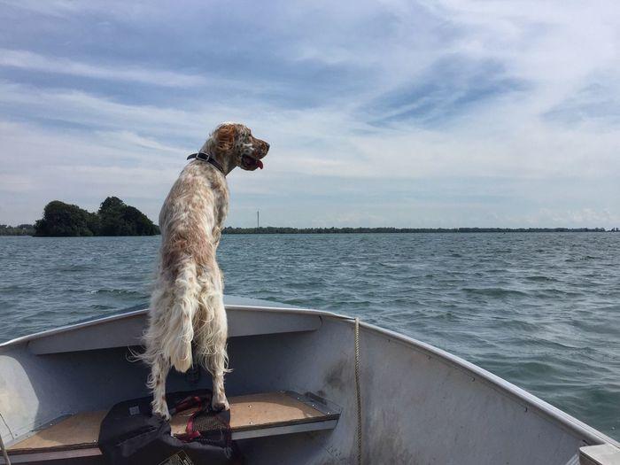 English setter on boat sailing in sea