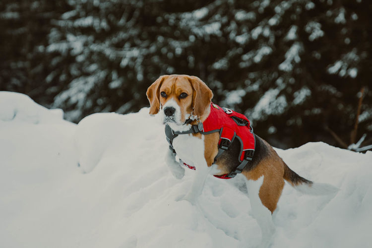 Portrait of beagle dog in snow