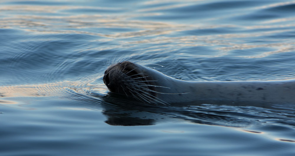 A seal just passing by upside down with a smile. Guemes Island, Washington State Animal Themes Animal Wildlife Animals In The Wild Aquatic Mammal Close-up Day Mammal Nature No People One Animal Outdoors Sea Sea Life Selective Focus Swimming UnderSea Water Waterfront