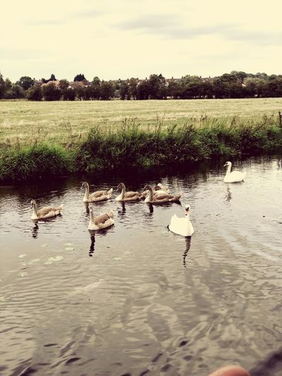 Beauitful swan family ❤️ Swans On The Lake Swanfamily FamilySwan Family Swan Swans Plant Sky Tranquility Water Beauty In Nature Nature Tranquil Scene Scenics - Nature Lake Tree No People Growth Day Environment Waterfront Bird Outdoors Land Landscape Reflection