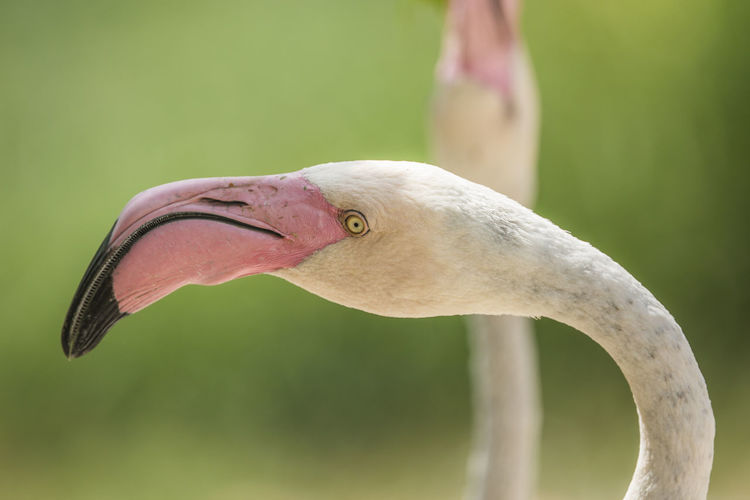 Phoenicopterus roseus [Canon EF 400mm f/4 DO IS II USM] Animal Portrait Beak Beauty In Nature Bird Birds Flamingo Greater Flamingo Long Neck  Long Neck Bird Nature Neck Pink Color Portrait Yellow Eyes