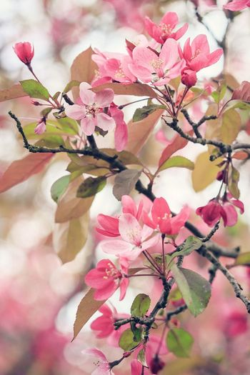 crab apple tree in bloom Flower Pink Color Blossom Branch Nature Close-up Springtime Tree Beauty In Nature Petal Flower Head Freshness Growth Leaf Outdoors No People Fragility Plant Day Crab Apple Tree