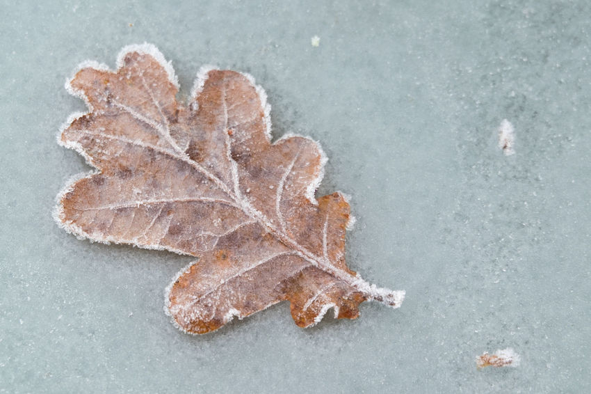 leaves on frozen table Winter Autumn Beauty In Nature Change Close-up Day Fragility High Angle View Leaf Nature No People Outdoors Shades Of Winter