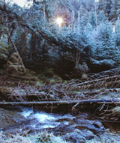 *** Where's Light there's hope... *** Hafren Forest Fir Tree Fir Trees Woods River Severn Mountains Evening Frost Winter Stream Sabrina Wales ель Лес Nature