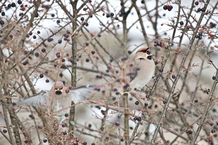 Bombycilla Garrulus Eating Animal Themes Animal Wildlife Animals In The Wild Beak Open Beauty In Nature Bird Bohemian Waxwing Branch Close-up Day Eating Berries Focus On Foreground Nature No People Outdoors Perching Tree In Norway