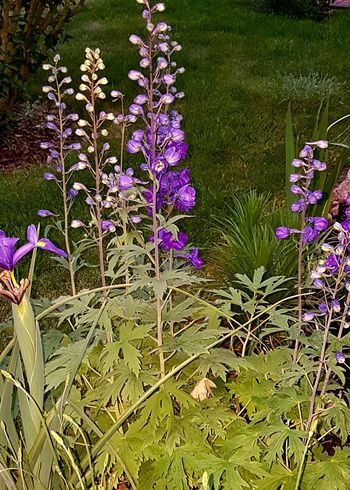 Rittersporn Larkspur Plant Growth Flower Purple Nature Beauty In Nature Outdoors No People Freshness Fragility Grass Blooming Flower Head Flash Photography