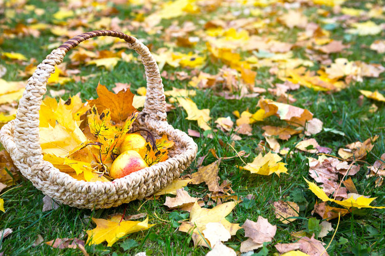 Close-up of yellow autumn leaves in basket
