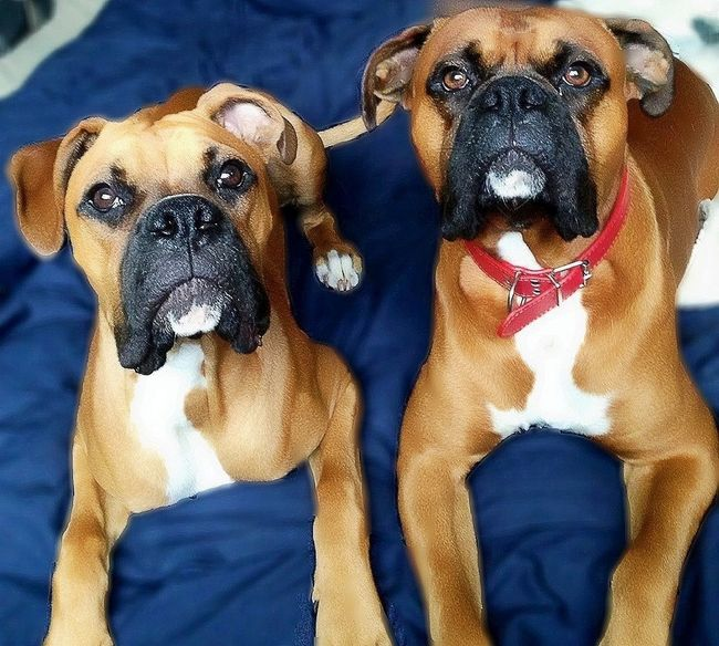 Boxerdogs Pets Dogs Cute Two Is Better Than One FaceShot Dogs Of EyeEm EyeEm Gallery Pet Photography  Eyeem Market Handsome Boxersarebest Boxergram Ilovemydog Pedigree