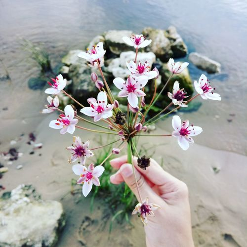 Cropped image of woman hand holding pink flowers at beach