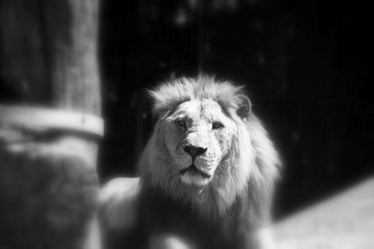 Animal Animal Themes Black & White Blackandwhite Close-up Day Kopf Lion Lions Löwe  Mammal Nature No People One Animal Outdoors Portrait Schwarz & Weiß Schwarzweiß Tiere