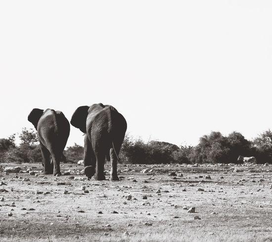 Elephants are just like us... they have soulmates like us! 💕 aAroundtheworld TThe Essence Of Summer aAfrican Beauty eElefant EElefanten  eElephant eElephants AAfrican aAfrica WWorldTrip eExploremore aAfrika sSafari Animals sSafari eEtosha National Park eEtosha The Following Feel The Journey Original Experiences Two Is Better Than One