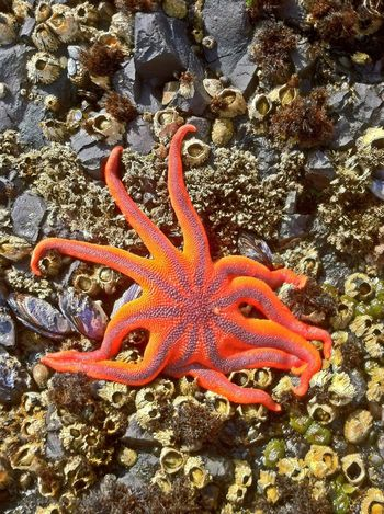 a starfish I found while walking the rocky beach at Salt Creek Campgrounds.. Echinoderm Sea Life Oceanside West Coast Washington State Adventure Tidepools Starfish  Starfish At Beach Salt Creek, WA The Minimals (less Edit Juxt Photography) Water_collection Hdr_Collection EyeEm Best Shots Tentacle Wildlife Hiker