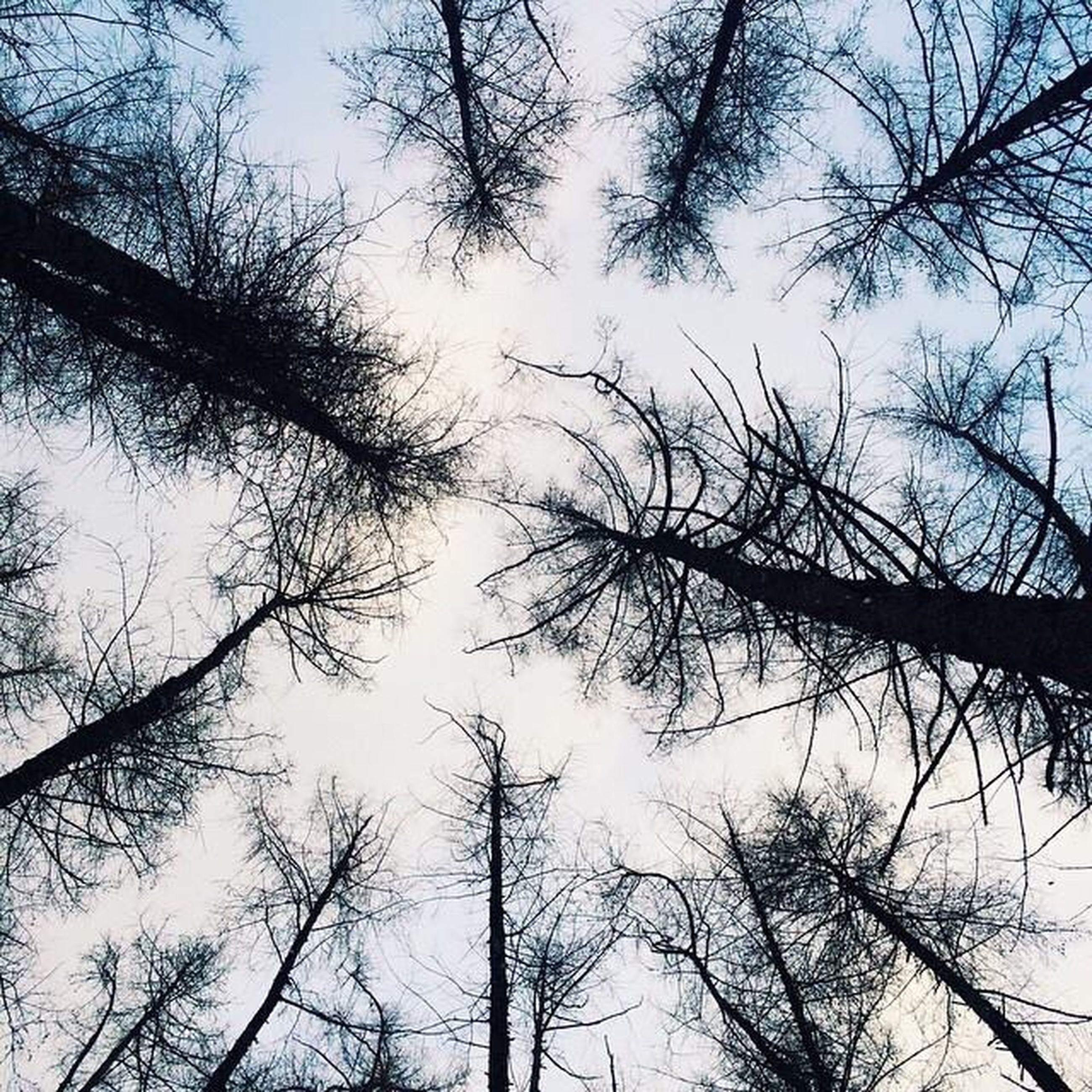 tree, bare tree, low angle view, branch, tranquility, sky, nature, beauty in nature, clear sky, tree trunk, growth, scenics, tranquil scene, silhouette, day, outdoors, no people, forest, tall - high, blue