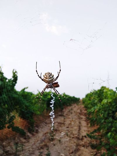Vineyard Nature Beauty In Nature Tranquility Spider Web Spider Insect Web Close-up Arachnid Animal Limb