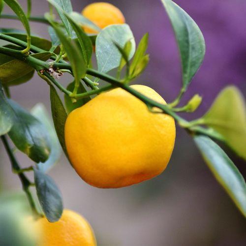 Close-up of orange fruit hanging on tree