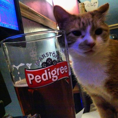 Our cat is a heavy drinker, that's his 7th pint of the night, he was about to start singing 4&20 virgins came down from Inverness, but he fell off the desk and looked dazed and confused. Hobbes Cat Marstons Pedigree beer paleale pissedcat