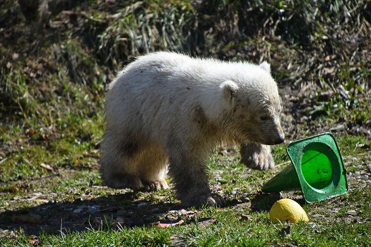 Dirty polar bear cub playing with green traffic cone