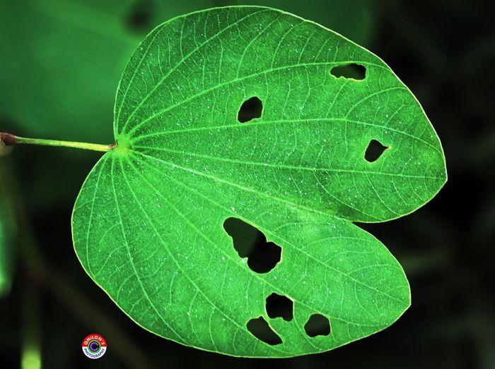 Leaf Leaf 🍂 Leafporn Leafmania Green Leaf Leave Only Leaves EyeEm Nature Lover EyeEm Best Shots