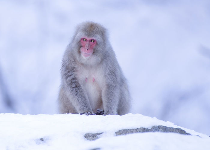 Monkey on snow during winter