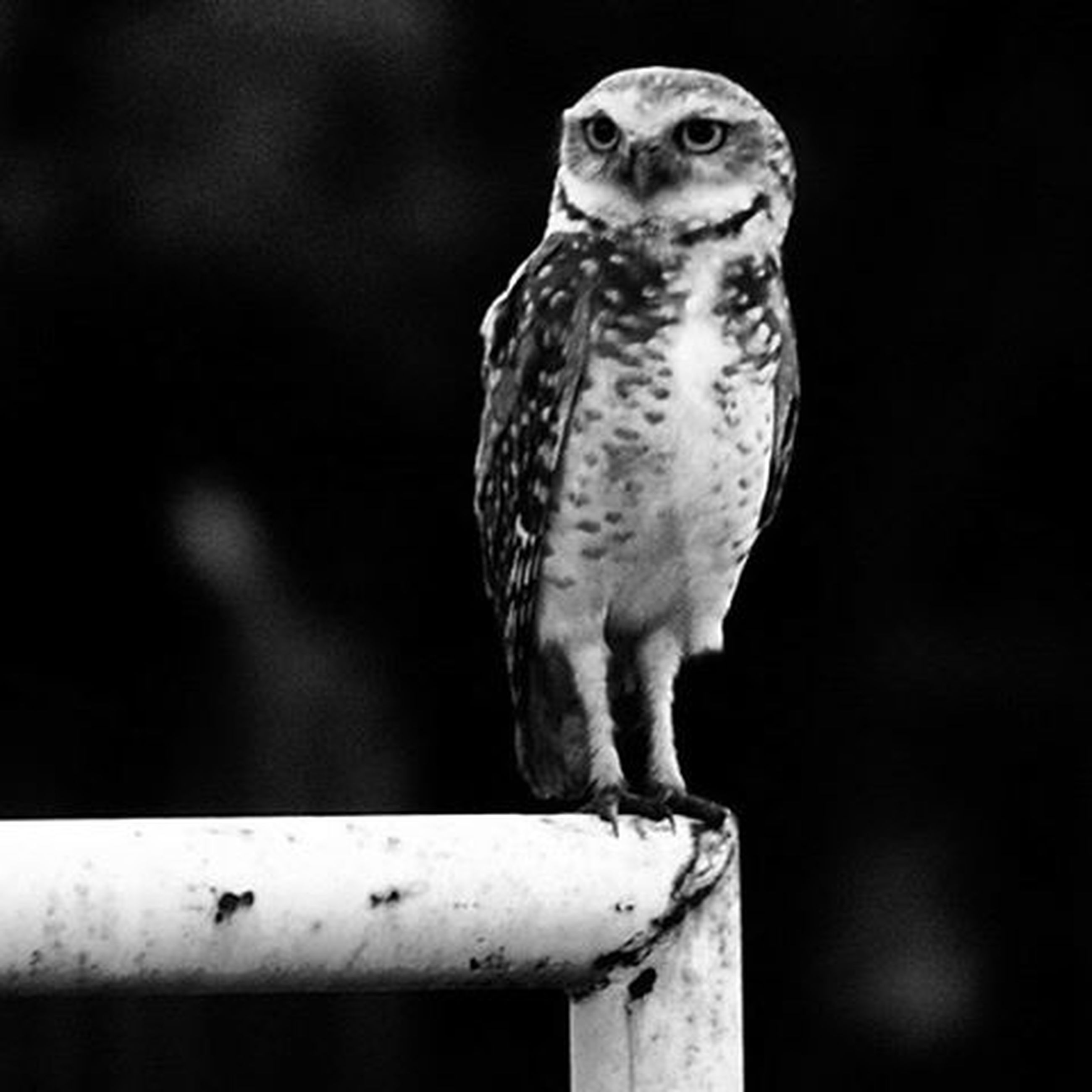 animal themes, one animal, animals in the wild, bird, wildlife, perching, bird of prey, focus on foreground, close-up, owl, beak, full length, nature, looking away, low angle view, outdoors, no people, side view, day, eagle - bird