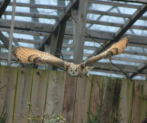Owl Oehoe Streamzoofriends Streamzoofamily Lovelynatureshots @gaiazoo_kerkrade Bird Photography Owl In Action Noedit Beautiful