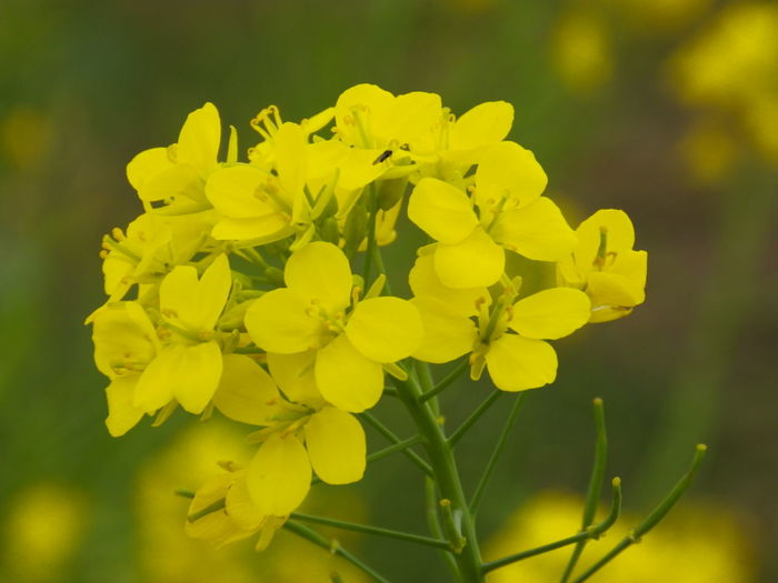 Another shot, and MY LAST for the day. | 菜の花、豊かに明るくに~ | 『Rapeseed blossom; Field Mustard; 菜の花』| NoEditNoFilter 無加工 菜の花 Field Mustard Rapeseed Blossom Yellow Flower Beauty In Nature Flower Flowers, Nature And Beauty Flowers,Plants & Garden EyeEm Flower EyeEm Best Shots - Flowers Olympusinspired Olympus Photography